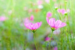 Flores del cosmos en jardín imagenes de archivo