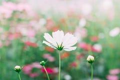 Flores del cosmos en jardín fotos de archivo libres de regalías