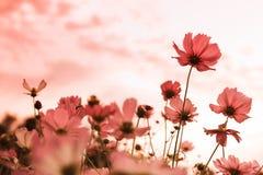 Flores del cosmos en la floración Fotografía de archivo