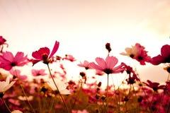 Flores del cosmos en la puesta del sol Fotografía de archivo