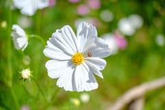 Flores del cosmos en primavera brillantemente coloreada Había una mariquita en los pétalos Foto de archivo libre de regalías