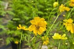 Flores del cosmos, flores amarillas del cosmos y abeja Imagenes de archivo
