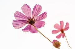Flores del cosmos por mañana Imágenes de archivo libres de regalías