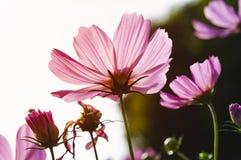 Flores del cosmos por mañana Imagen de archivo libre de regalías