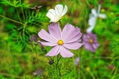 Flores del cosmos y abeja del cantón Suiza de Lauterbrunnen Berna Foto de archivo
