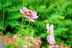 Flores del cosmos y abeja de Lauterbrunnen en el cantón Suiza de Berna Imagen de archivo