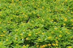 Flores del crisantemo Foto de archivo
