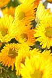 Flores del crisantemo fotografía de archivo libre de regalías
