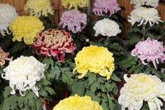 Flores del crisantemo Fotos de archivo