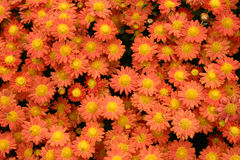 Flores del crisantemo Fotos de archivo libres de regalías