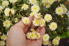 Flores del crisantemo con la naturaleza Foto de archivo