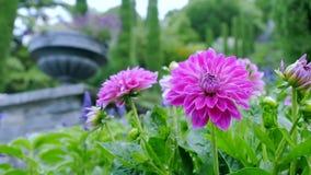 Flores del crisantemo en el jardín El movimiento de la cámara adelante permite que usted considere el plan de largo alcance y des almacen de metraje de vídeo