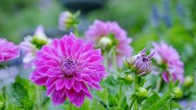 Flores del crisantemo en el jardín El movimiento de la cámara con un plan importante para el de largo alcance permite considerar  almacen de video