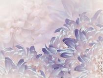 Flores del crisantemo fondo violeta y rosado collage floral Composici?n de la flor Primer fotografía de archivo
