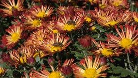Flores del crisantemo del otoño metrajes