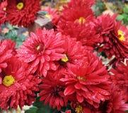 Flores del crisantemo del otoño imagenes de archivo