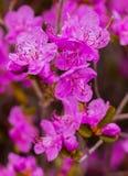 Flores del dauricum del rododendro del primer Floración de la primavera Fotografía de archivo libre de regalías