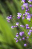 Flores del delavayi del Thalictrum Imagenes de archivo