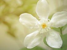 Flores del deliate de la primavera, flores blancas Fotos de archivo