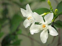 Flores del deliate de la primavera, flores blancas Imagenes de archivo