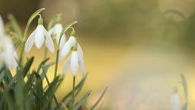 Flores del descenso de la nieve por mañana de la primavera almacen de video