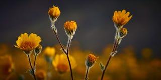 Flores del desierto Imagen de archivo libre de regalías
