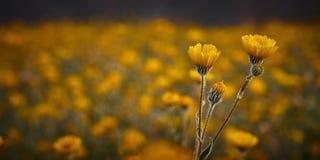 Flores del desierto Imágenes de archivo libres de regalías