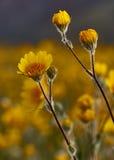 Flores del desierto Fotos de archivo libres de regalías