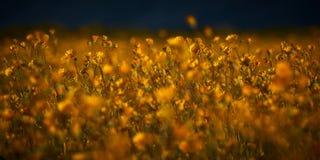 Flores del desierto Foto de archivo libre de regalías