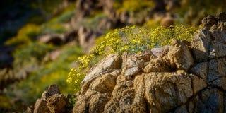 Flores del desierto Foto de archivo