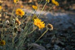Flores del desierto de Brittlebush foto de archivo