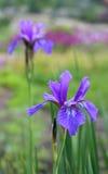 Flores del diafragma Fotos de archivo libres de regalías