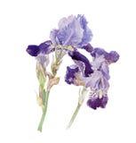 Flores del diafragma Imágenes de archivo libres de regalías