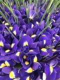 Flores del diafragma Imagen de archivo libre de regalías
