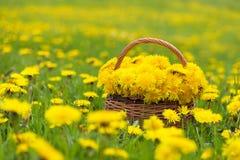 Flores del diente de león en una cesta en luz del sol imagen de archivo libre de regalías