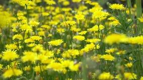 Flores del diente de le?n en un campo en Suecia, Europa Flores amarillas del diente de le?n en hierba verde en la primavera prime almacen de metraje de vídeo