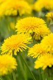 Flores del diente de león Fotos de archivo libres de regalías