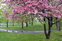 Flores del Dogwood en resorte Fotos de archivo libres de regalías