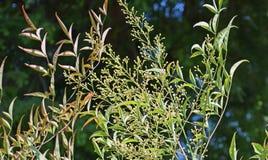 Flores del domestica sagrado del bambú o de Nandina imagen de archivo