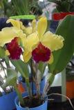 Flores del dowiana de Cattleya Plantas decorativas para el invernadero foto de archivo libre de regalías
