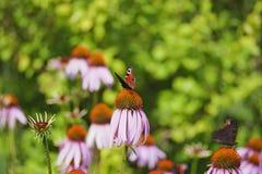Flores del Echinacea con las mariposas Fotos de archivo