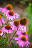 Flores del Echinacea en un jardín Imagenes de archivo