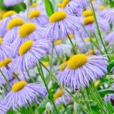 Flores del Echinacea, púrpuras y amarillas del cono Imágenes de archivo libres de regalías