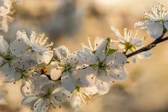 Flores del endrino con descensos de rocío Imagenes de archivo