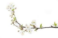 Flores del endrino (spinosa del prunus) foto de archivo libre de regalías