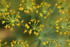 Flores del eneldo Imagenes de archivo