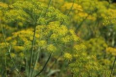 Flores del eneldo en el remiendo vegetal Fotografía de archivo