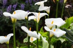 Flores del espolón de gallo Fotos de archivo libres de regalías
