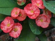 Flores del euforbio Fotografía de archivo