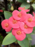 Flores del Euphorbiaceae Imagen de archivo libre de regalías